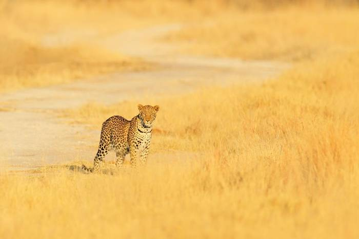Leopard, Hwange National Park, Zimbabwe shutterstock_1114922948.jpg