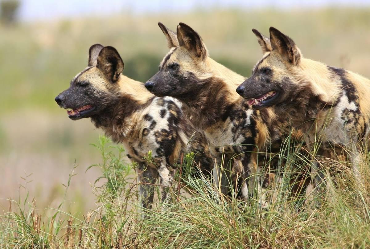 Botswana (Wild Dogs)