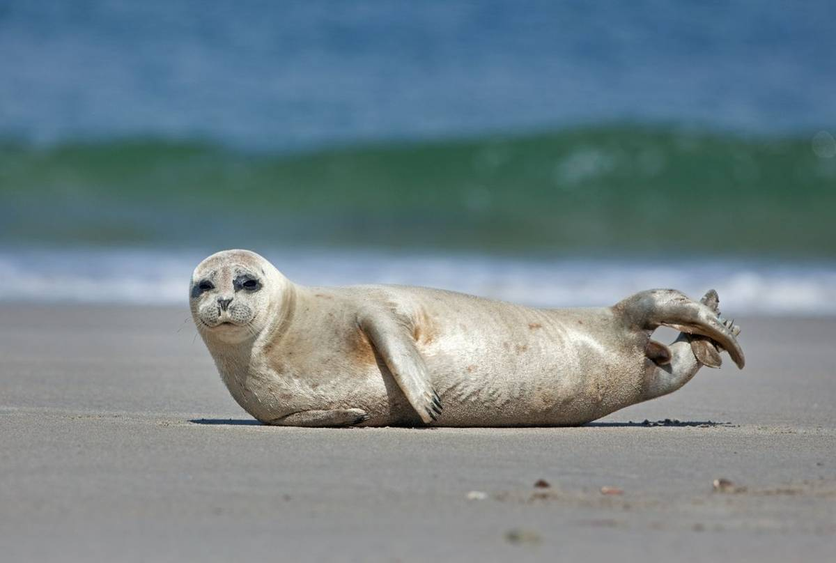 Common Seal shutterstock_1473807689.jpg