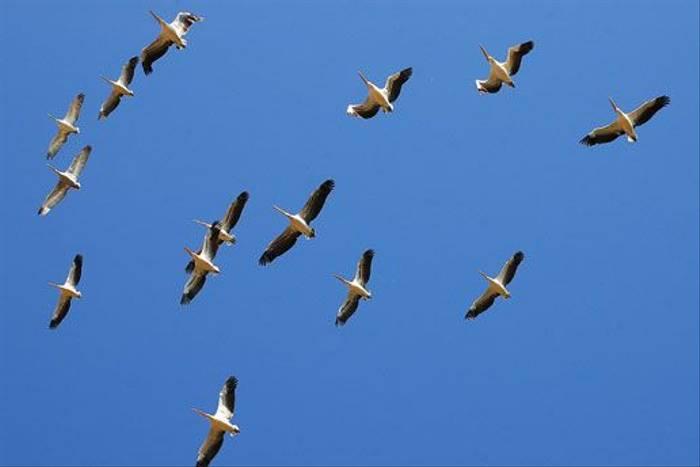 Pelicans (David Morris)