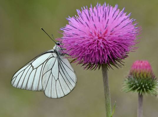 Black-veined White (Peter Law)
