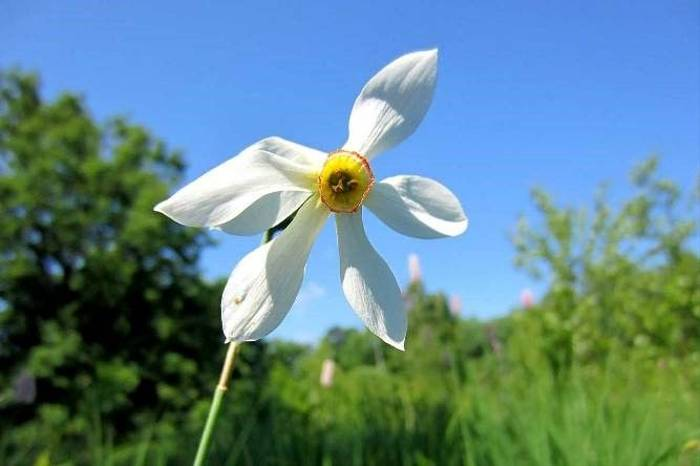 Narcissus Poeticus (Rob Murray)
