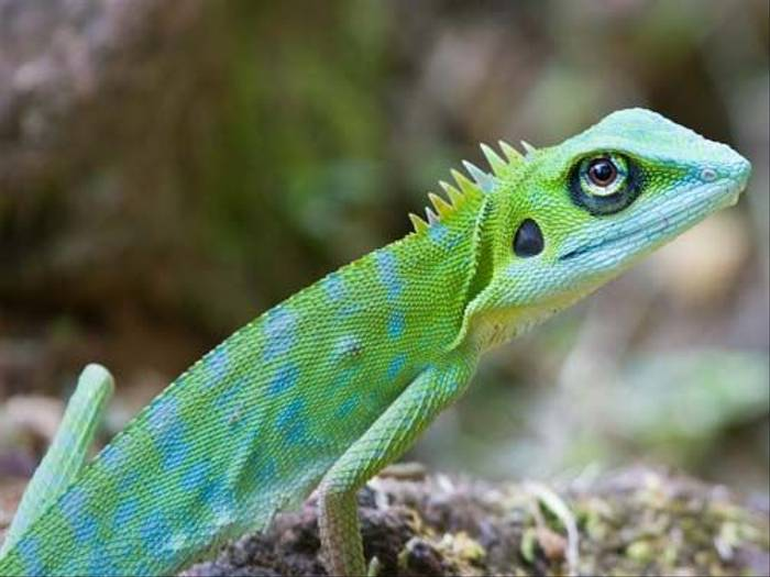 Crested Green Lizard (Mike Galtry)