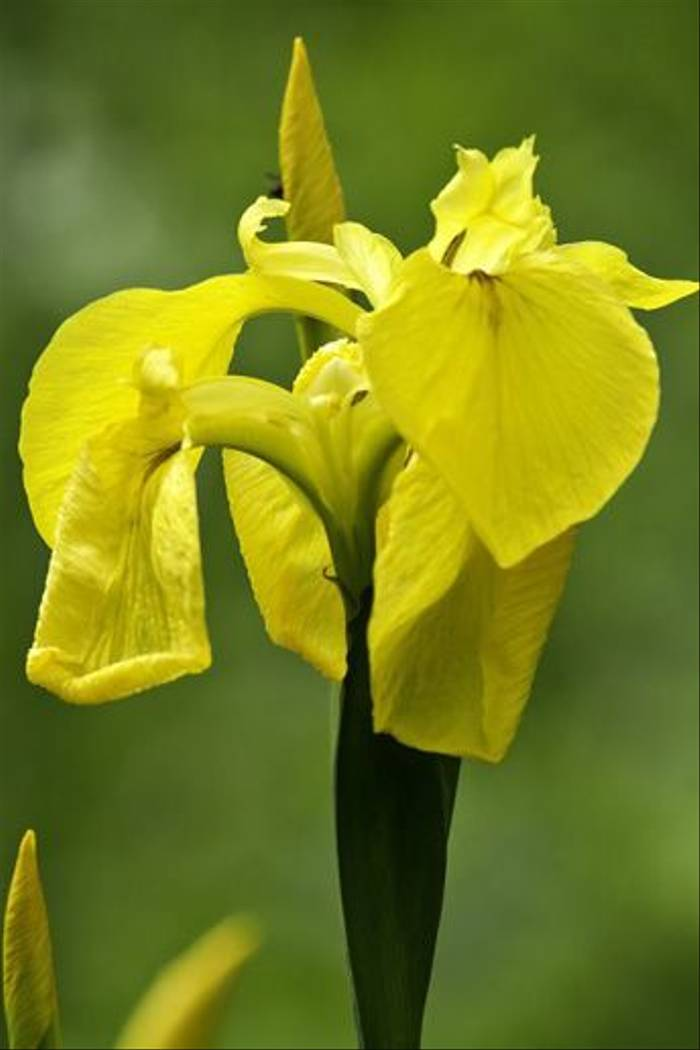 Iris sp. (Colin Brown)