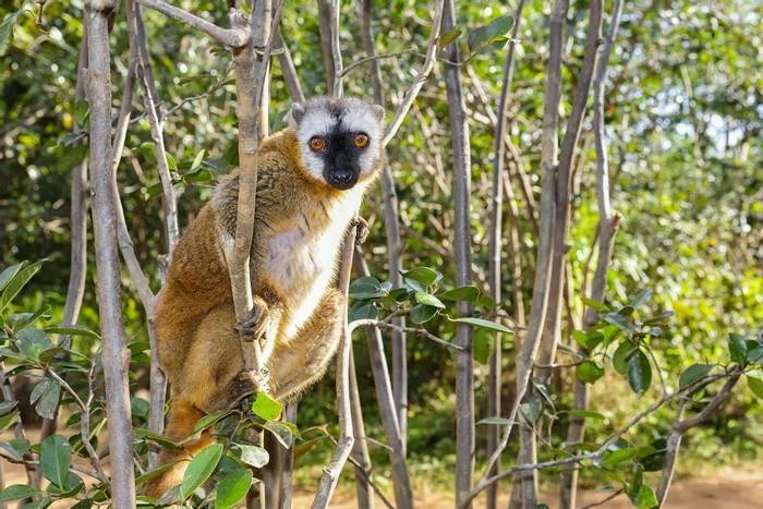 Red-fronted Brown Lemur, Madagascar shutterstock_112910758.jpg