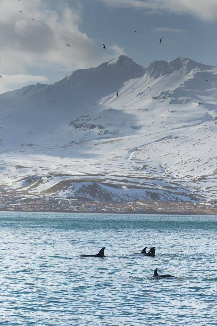 Orca in Grundarfjordur (Malcolm Stott)