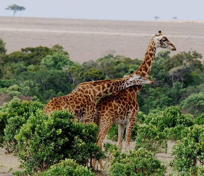 Giraffs, Masai Mara.
