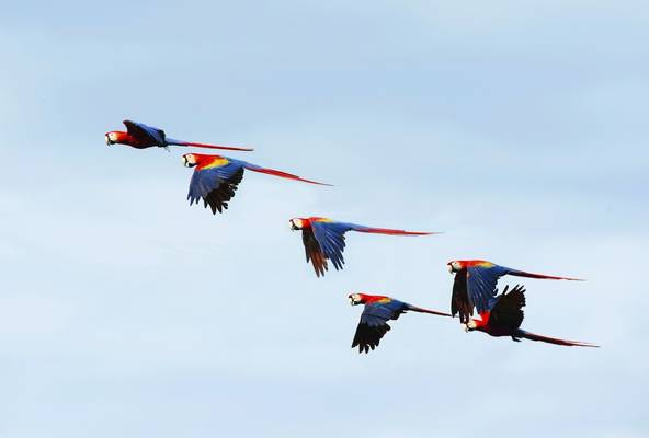 Scarlet Macaws, Costa Rica Shutterstock 223330387