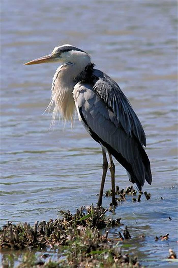 Grey Heron (Peter Dunn)