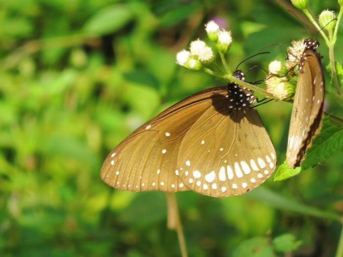 Common Crow Butterfly (David Hartill)