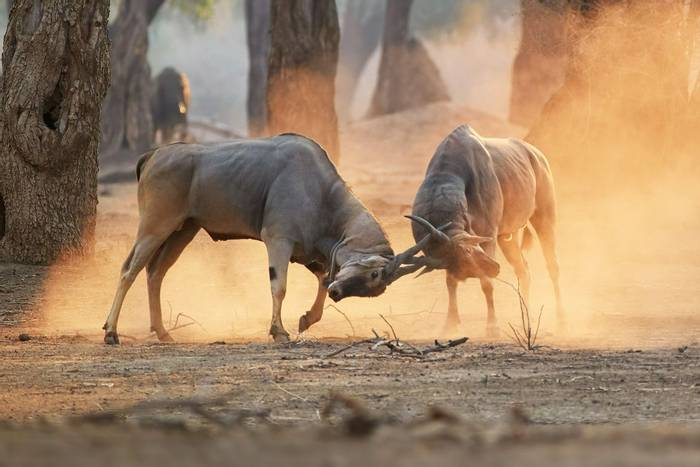 Eland,-Mana-Pools,-Zimbabwe-shutterstock_1721578702.jpg
