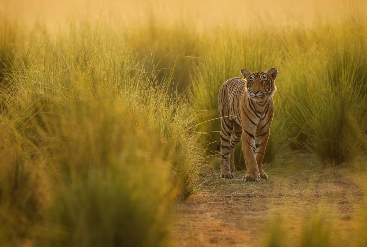Tiger Shutterstock 585645128