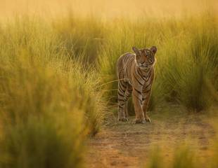 India - Tiger Direct!
