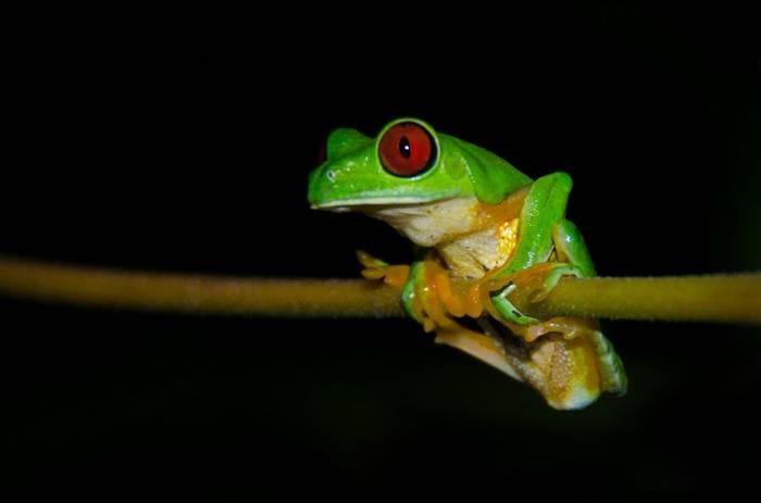 Red-eyed Tree Frog. Tim Melling.