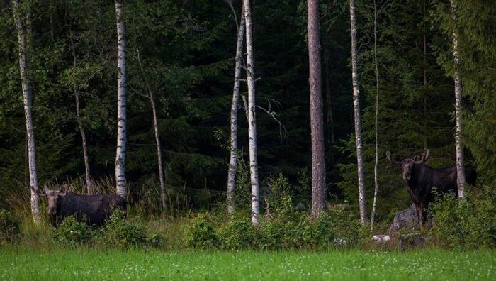 Elk emerging from the forest (Marcus Westberg) 2