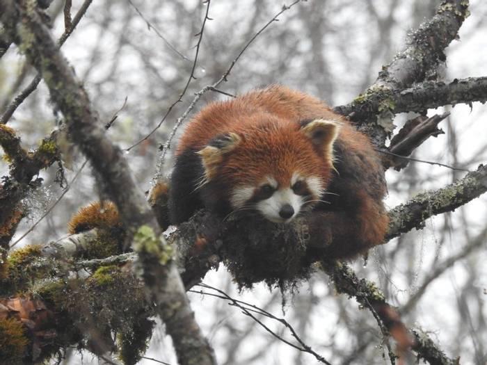 Red Panda (Gerald Broddelez)