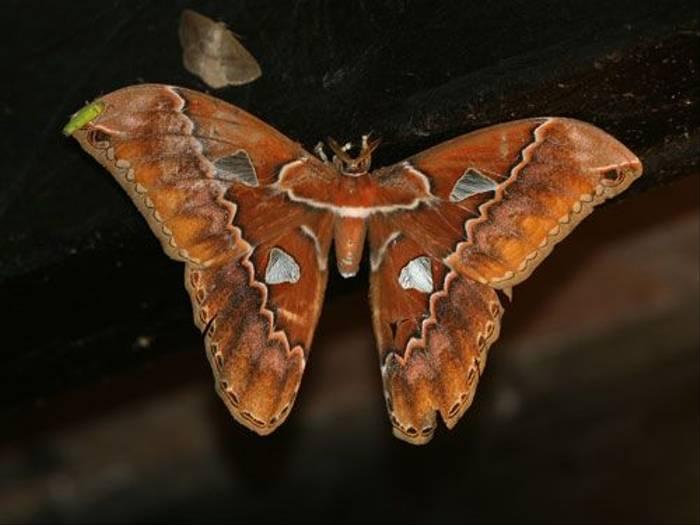Atlas Moth (Mark Caunt)
