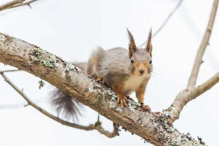 Red Squirrel (Marcus Westberg)