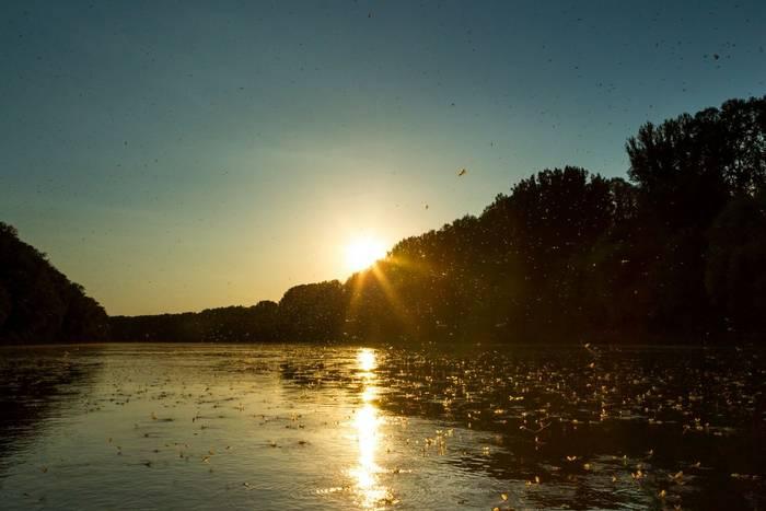 Mayflies on the Tisza by O Smart.jpg