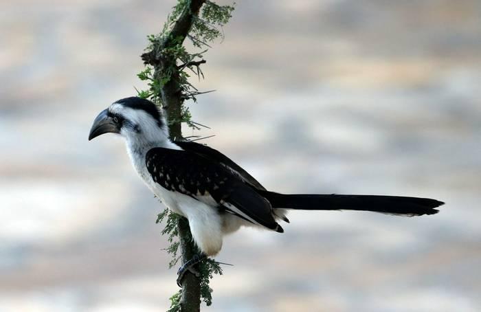 Van der Decken's Hornbill (Karen Malte Nielsen)