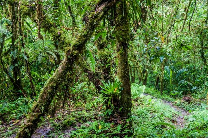 Panamanian Forest