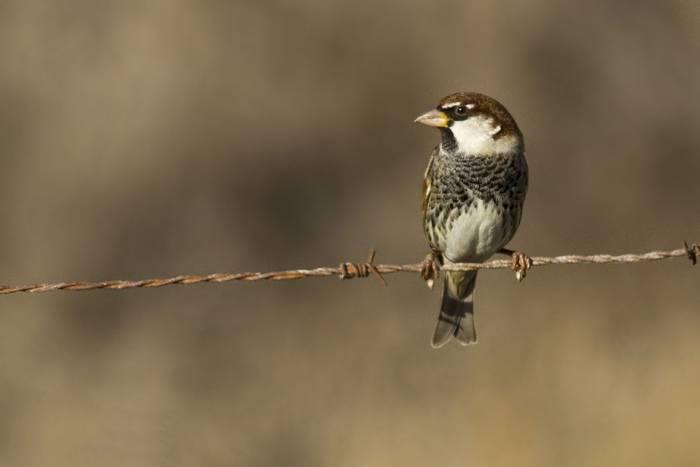 Spanish Sparrow (Javi Elorriaga)