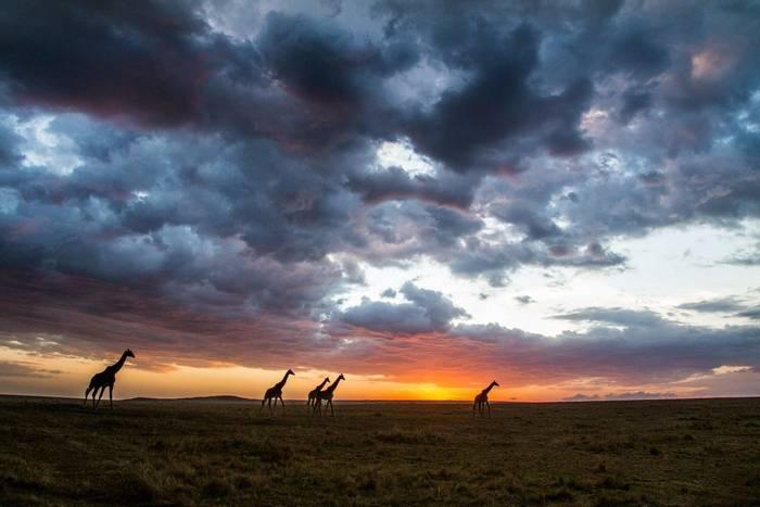 Masai Giraffes (John Haskew) (2).jpg