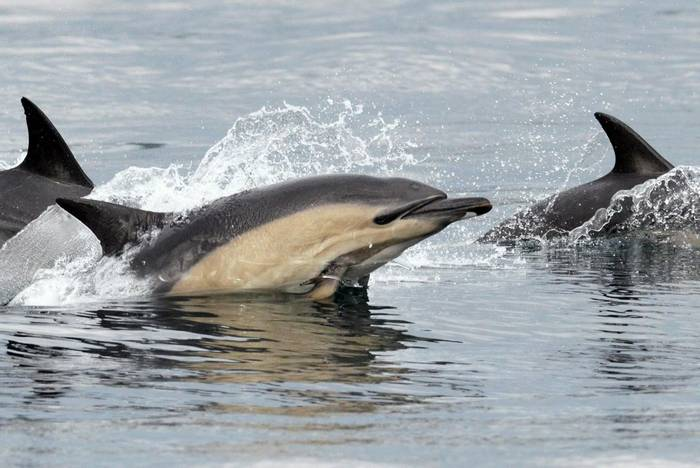Short-beaked Common Dolphins, Scotland shutterstock_127642808.jpg