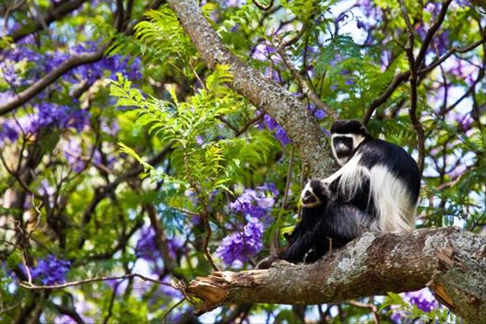 Guereza Colobus Monkeys (Dani Free)