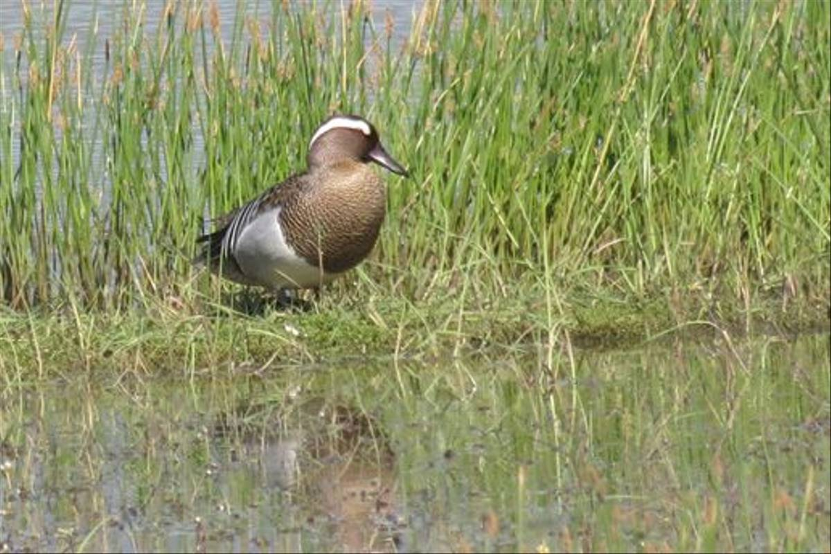 Garganey (Colin Wibberley)