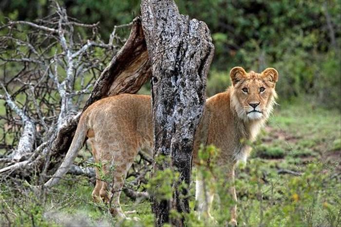 Lion (Bret Charman)