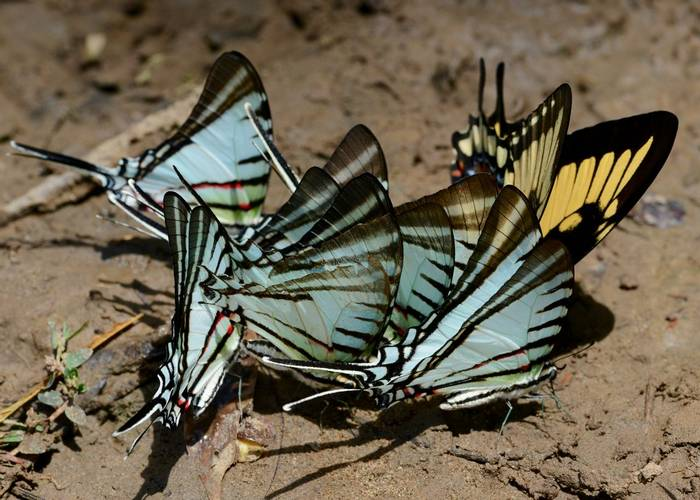 Mud Puddling Butterflies (Stephen Woodham)