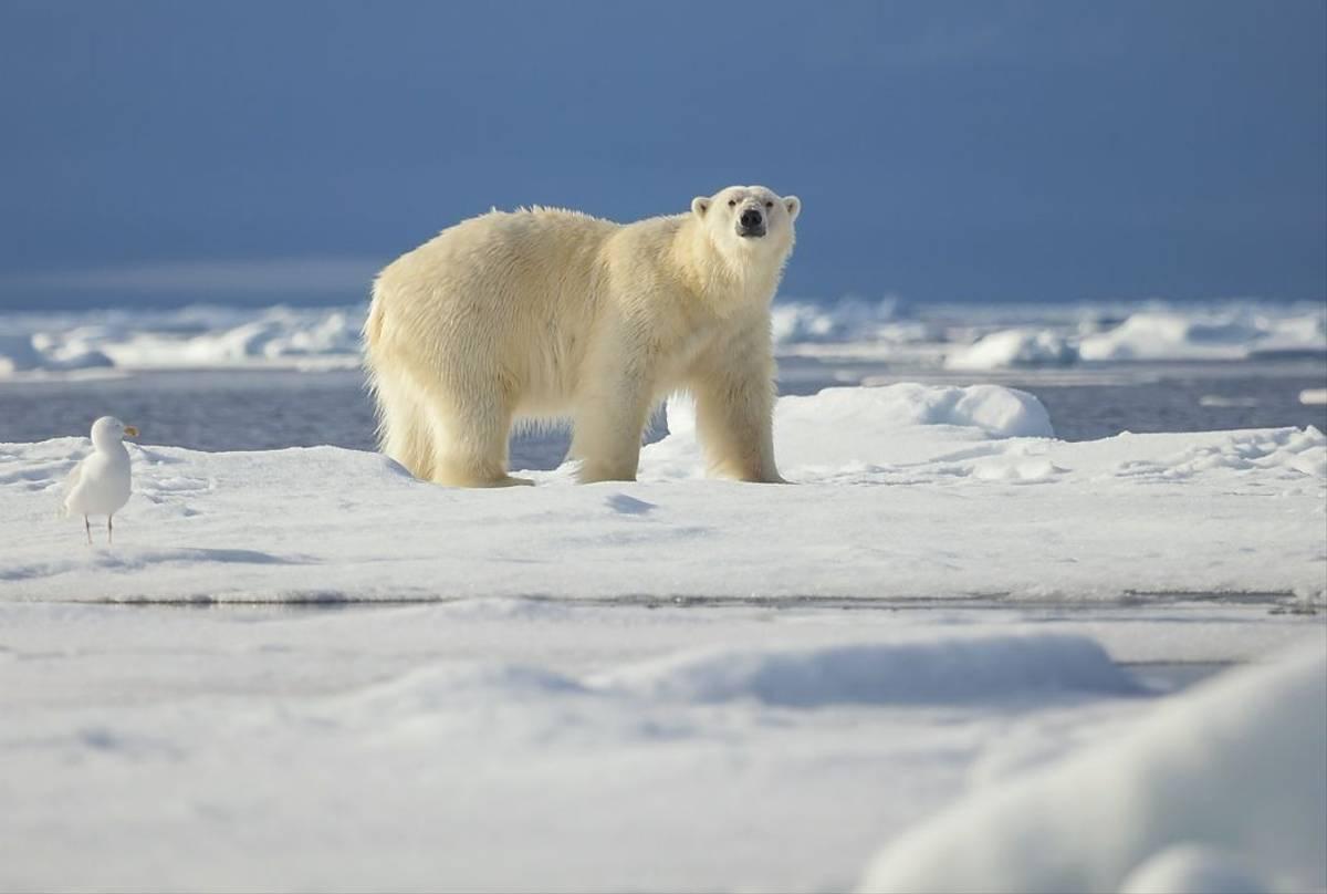 Polar Bear Shutterstock 568713703