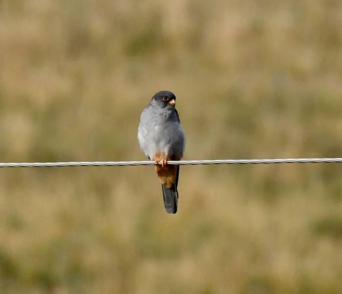 Amur Falcon (Adam Dudley).jpg