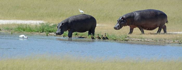 Hippos, geese and egrets (Eric Browett)