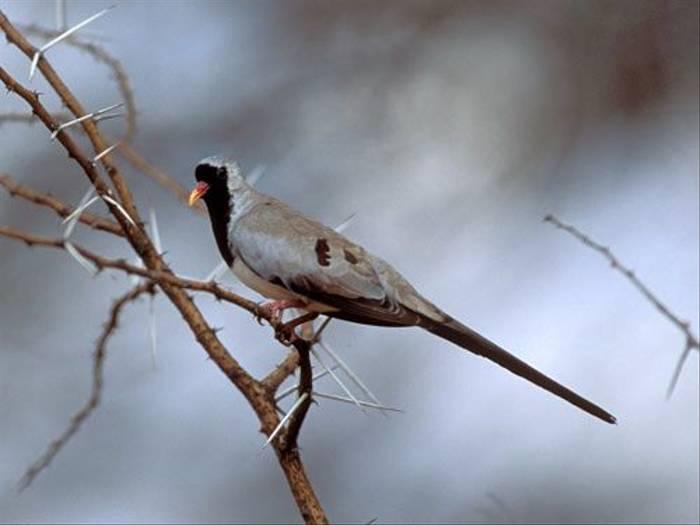 Namaqua Dove (Julia Casson)