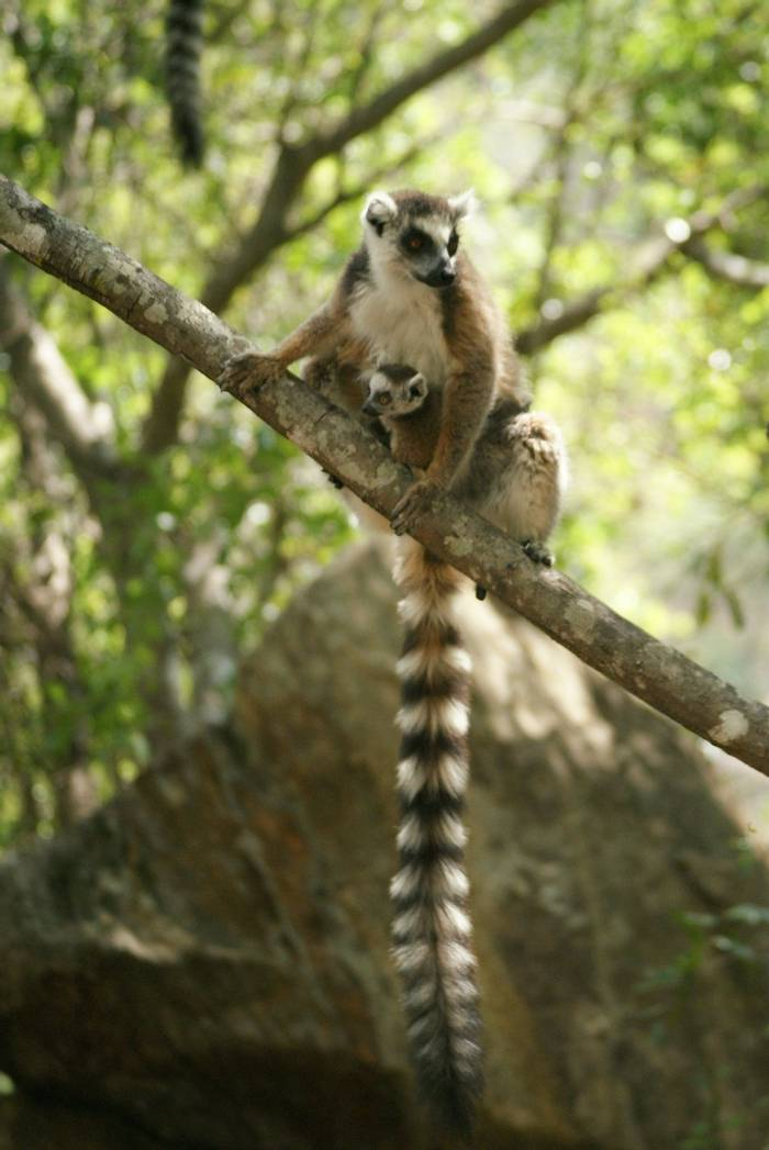 Ring-tailed Lemurs (Ed Drewitt)