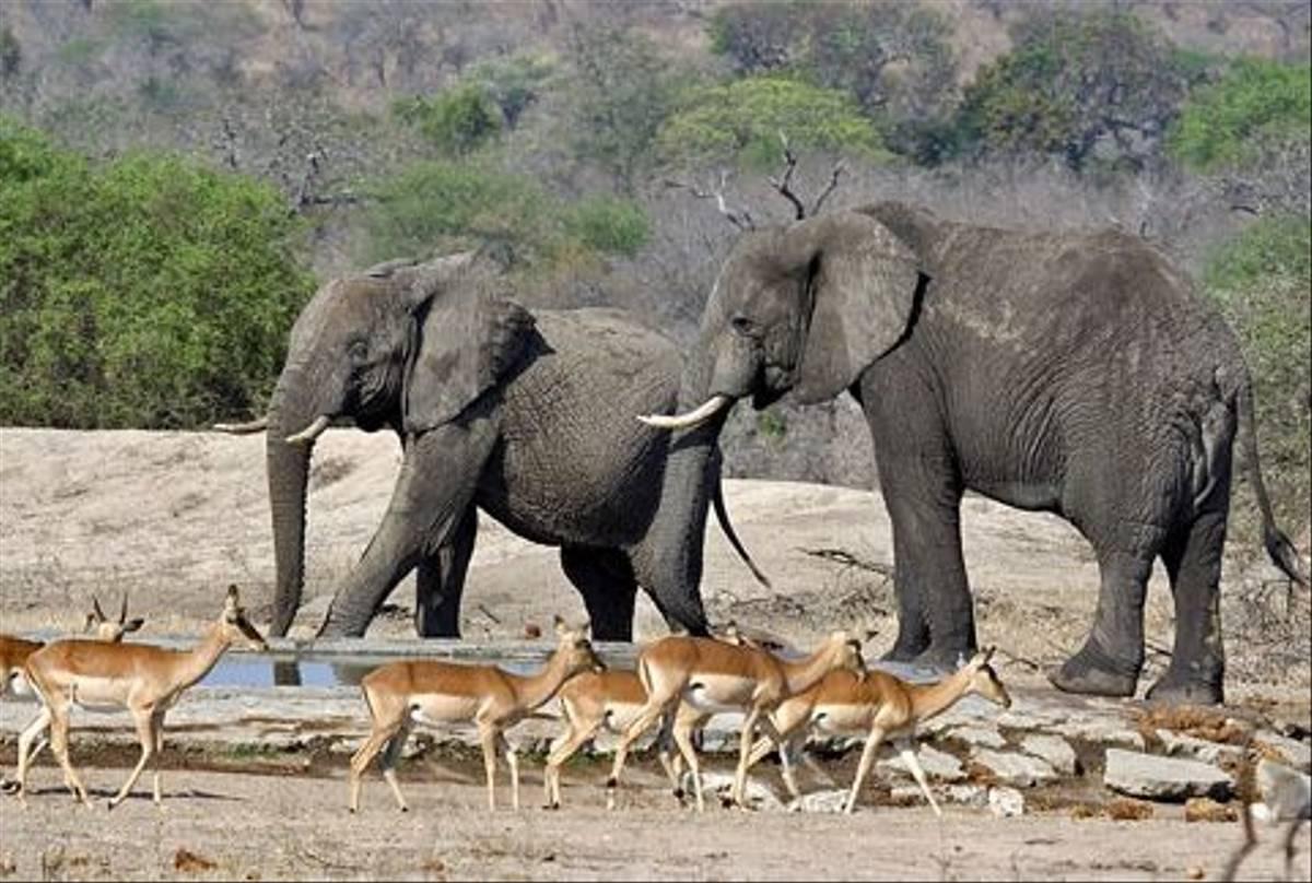 Impala and Elephants (Leon Marais)