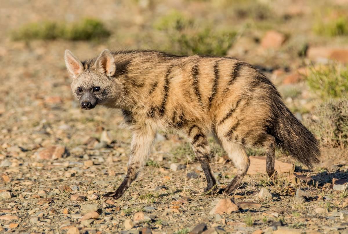 Aardwolf,-South-Africa-shutterstock_433083541.png
