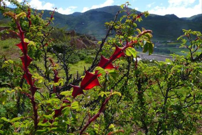 Rosa omeiensis f. pteracantha - Songtsam (Phillipe de Spoelberch)