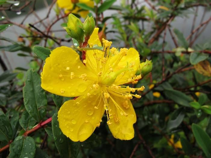 Hypericum revolutum, ethiopia  shutterstock_765848719.jpg