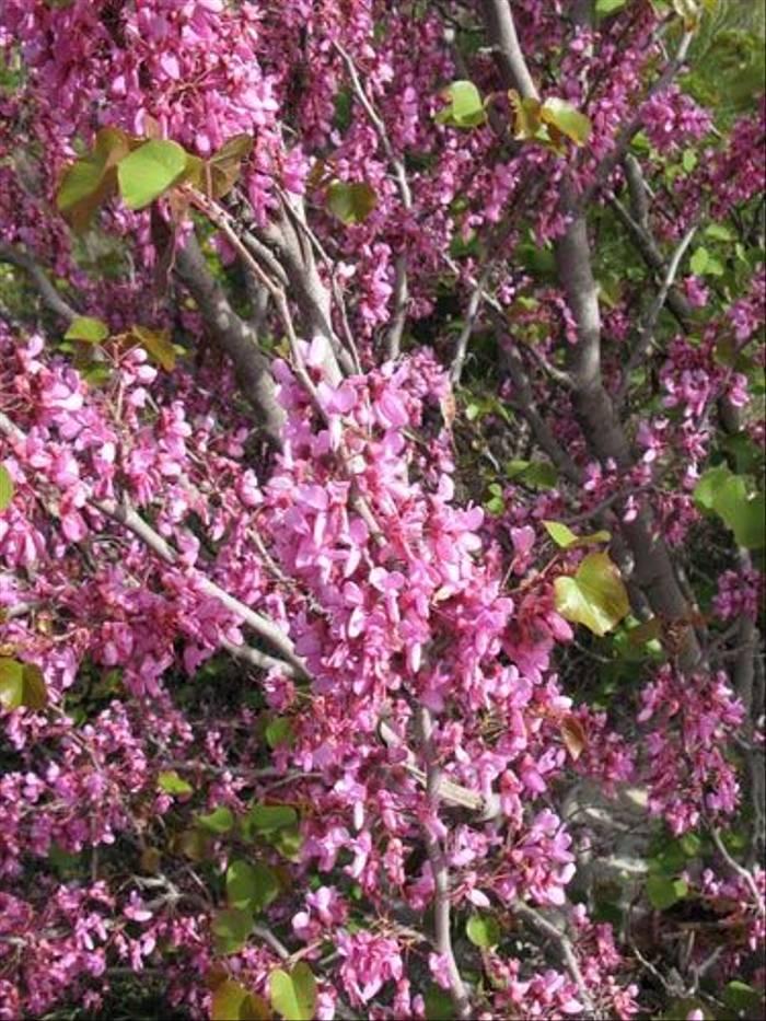 Cercis siliquastrum - Judas Tree (Paul Harmes)