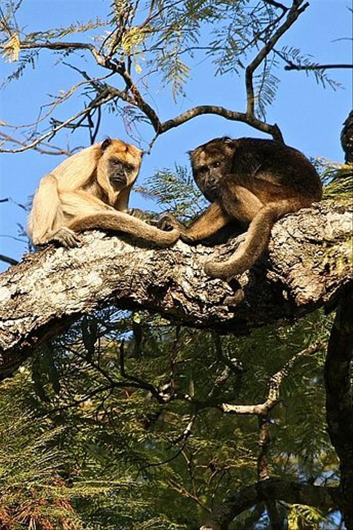 Black Howler Monkeys (Dani Free)