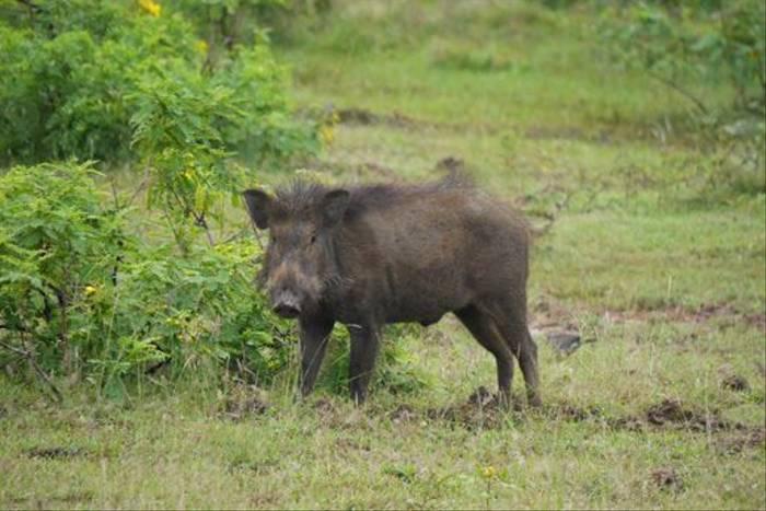 Wild Boar (Lance Tuckett)