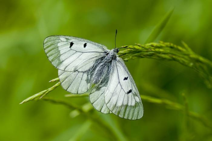 Clouded Apollo Butterfly Shutterstock 566512588