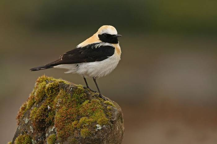 Black Eared Wheatear Shutterstock 516886525