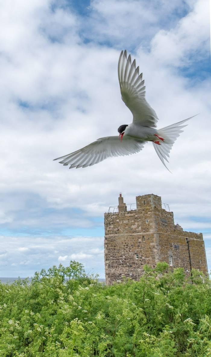 Arctic Tern (Lindsey Smith).jpg