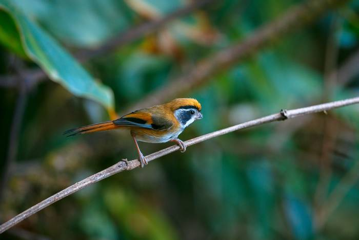 Black-throated Parrotbill, India shutterstock_1466577581.jpg
