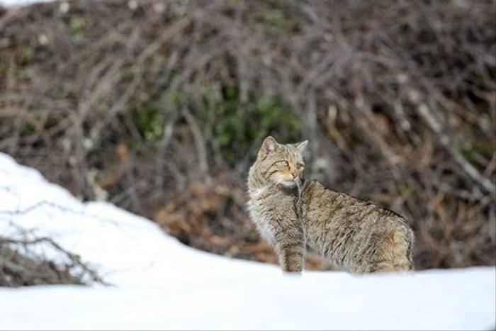 Wildcat in the Navarra snow