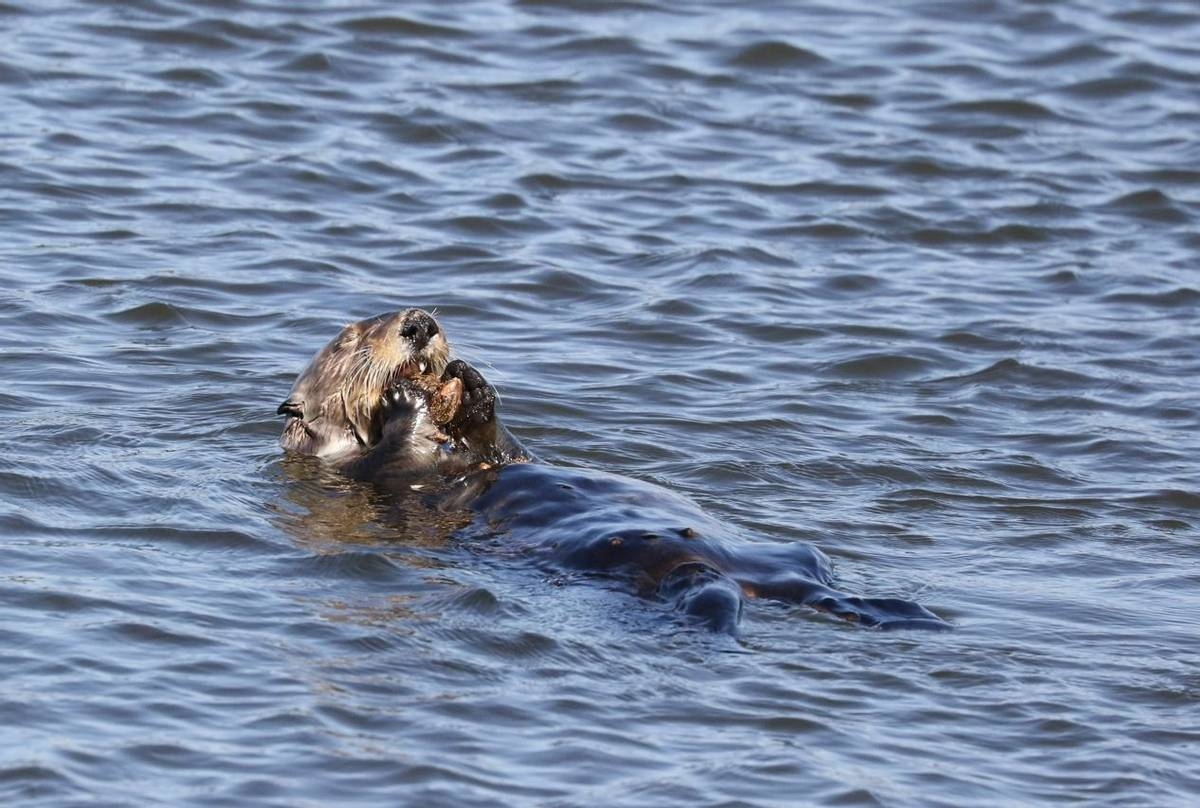 Female Sea Otter (Brian West)